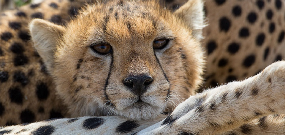 An-elusive-Cheetah-resting-in-the-Serengeti-National-Park-Tanzania