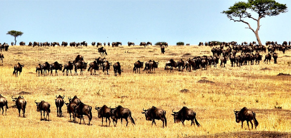 Wildebeests-walk-in-search-of-water-during-the-Great-Migration-at-Serengeti-Tanzania